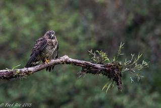 Broad-winged Hawk [Buteo platypterus]
