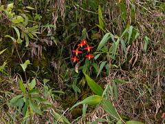 phragmipedium dalessandroi (Eerika Schulz) Tags: phragmipedium dalessandroi ecuador eerika schulz