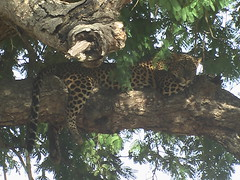 A Leopard in Yala National Park