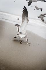 aves (betho itinerante) Tags: color libertad mar playa viento cielo alas nubes contraste parvada olas volando volar altocontraste