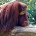 "Orangutan • <a style=""font-size:0.8em;"" href=""http://www.flickr.com/photos/128593753@N06/16536954065/"" target=""_blank"">View on Flickr</a>"