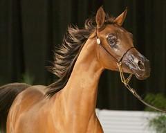 Arabian Horse 14Feb2015 1185 (blackhawk32) Tags: horses scottsdale arabian arabianhorse scottsdalearabianhorseshow showhorses