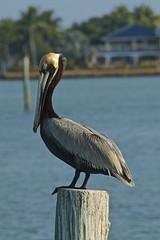 Brown Pelican (Pelecanus occidentalis), Marathon, Florida (Peter Cook UK) Tags: brown florida marathon pelican occidentalis pelecanus