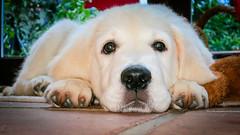 Charlie 11.5 weeks (Mark Rainbird) Tags: uk england dog canon puppy unitedkingdom retriever charlie powershots100 burghfieldcommon