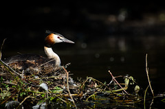 Nesting Grebe (jakewchitty) Tags: bird london water thames river nest wildlife great surrey crested grebe nesting photograhy ditton