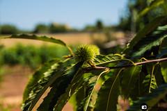23072016-_DSC0163 (Franzberserk) Tags: natura noci puglia campagna castagna foglie frutta italia