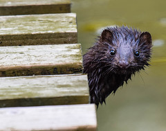anyone for hide/n/seek (wesleybarr1962) Tags: riverotter mink