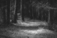 *** (pszcz9) Tags: las blackandwhite bw tree nature monochrome forest landscape nationalpark path sony poland polska a77 przyroda drzewo beautifulearth pejza cieka parknarodowy