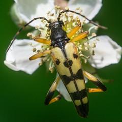 SUR LA FLEUR BLANCHE JE SUIS PERCH (daumy) Tags: macro nature fleurs campagne antenne pate insecte
