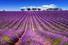 LAVENDER IN SOUTH OF FRANCE (beatricepreve) Tags: blue light summer plant france flower beautiful beauty field lines square french landscape outdoors countryside colorful purple scenic magenta violet lavender sunny nobody rows fragrant provence picturesque lavande abundance herbal scent azur fragrance aroma blooming scented aromatherapy alpesdehauteprovence valensole provencealpescote lavendin