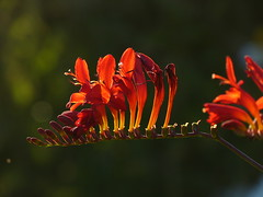 Flames (joeke pieters) Tags: 1280713 panasonicdmcfz150 crocosmia montbretia lucifer bloem flower blume fleur rood red rot rouge licht light ngc platinumheartaward npc