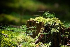 (Px4u by Team Cu29) Tags: sommer pflanzen makro sonne wald baum moos fichte spinnennetz wurzel triebe baumstumpf fichtentriebe