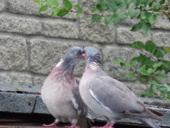 Love birds! (Elouise2009) Tags: birds pigeons july2016