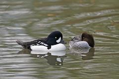 Barrow's Goldeneye (Alan Gutsell) Tags: lake canada nature birds alan photo duck okanagan wildlife waterfowl goldeneye barrows barrowsgoldeneye