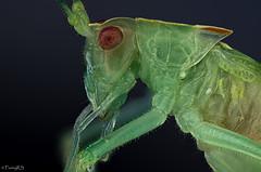 Grnes Heupferd (reneschulze66) Tags: stacking a58 sony schneider kreuznach stackshot insekt grashpfer heu heupferd alpha