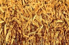 CEREAL, TRIGO, 2016 (Alberto Fer.) Tags: trigo cereal campo atardecer puesta de sol naturaleza rural pueblo tierra nikon 5100 villan tordesillas valladolid castilla y leon espaa