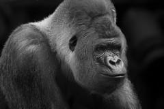 Blijdorp 22-7-16-8 (jeroendekker1) Tags: bokito gorilla silverback male