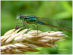 Lunch Time (Nadine V.) Tags: damselfly waterjuffer odonate panasonic panasonicdmcfz38 notinourgarden lumix fz38 explore