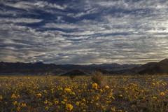 Sunrise on the Gold (Chief Bwana) Tags: ca deathvalley desert desertgold daisy wildflowers firstlight deathvalleynationalpark nationalparks sunrise psa104 chiefbwana