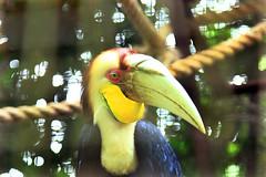 2016-7-9 ENGGANG (3) (ivan ferdian) Tags: fauna ivanferdian enggang burung wildlife wild