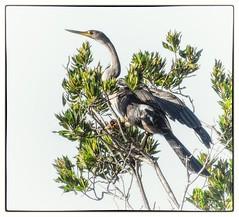 A bird in the bush.. (Andy J Newman) Tags: bird heron stork florida everglade nature nikon d7100