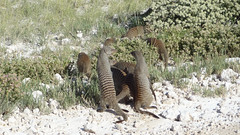 Family of Banded Mongoose, Etosha National Park, Namibia (dannymfoster) Tags: africa namibia etosha nationalpark etoshanationalpark animal mongoose bandedmongoose