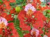 Flamboyan (joaquin.stevenson) Tags: flamboyan flower nature cabarete dominicanrepublic caribe