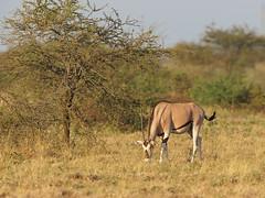 East African oryx (Oleg Chernyshov) Tags: eastafricanoryx oryxbeisa бейза