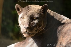 Jaguar - Panthera Onca (MrTDiddy) Tags: jaguar panthera onca bigcat big cat grotekat grote kat felin zoogdier mammal female vrouwelijk zohra zooantwerpen zoo antwerpen antwerp