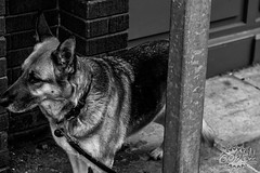 Where's-Daddy (Oosh! Photography) Tags: streetphotography ooshphotography cheshire blackandwhite alsatian