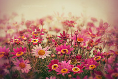 pink daisy love (stacey catherine) Tags: daisy daisies flower nature garden layers multi dreamy daisylove pink spring sliderssunday hss