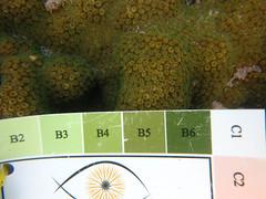 GCMP_sample_photo_2585 (r.mcminds) Tags: xvii cyphastrea scleractinian metazoan needsspeciesid pacificocean australia idbyjoepollock cnidaria gcmp robust anthozoan missingsampleinformation indopacific cyphastreasp sampleidneeded taxonomyuncertain photobyjoepollock lordhoweisland gcmpsample hexacorallian farflats animal cnidarian globalcoralmicrobiomeproject hardcoral merulinidae stonycoral au