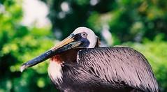 SINGAPORE BROWN PELICAN (patrick555666751) Tags: singapore brown pelican pelecanus occidentalis asie asia du sud est south east singapura oiseaux aves vogel birds tiere dieren animali animal animals animaux