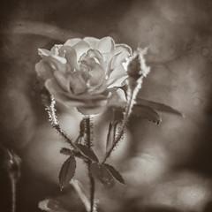 Nostalgia... (rsc_escher) Tags: rose bloom blossom close up mono monochrome monotone texture dof nostalgia square sepia copyrightrscescheryahoocom