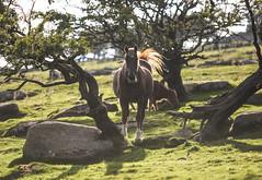 Moor Horse (Trm-photography.com) Tags: bodmin moor horse cornwall 70200mmf28 canon