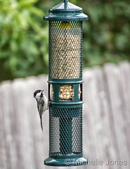 August 6, 2016 - A Chickadee enjoys a meal in Thornton. (Michelle Jones)