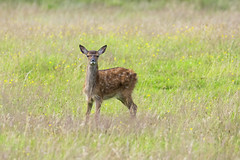 Red Deer Fawn (Margaret S.S) Tags: red deer fawn