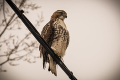 Raptin' (bjornery) Tags: nature minnesota zoom hawk wildlife minneapolis overcast mpls raptor mn hunt birdofprey brynmawr redtailedhawk birdonawire lindenyard