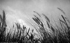 Grasses (Pexpix) Tags: sky blackandwhite bw film monochrome grass iso400 ilfordhp5 kodakd76  digitizedfilmnegative film201418 leicampsilver leica28mmsummicronmf2asphleica28mmsummicronmf2asphleica28mmsummicronmf2asph