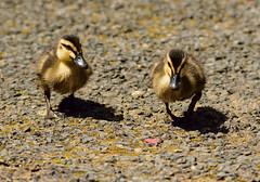 Ducklings (ap0013) Tags: duck duckling ducks ducklings australia explore adelaide southaustralia cleland clelandwildlifepark adelaideaustralia adelaidesa adelaideau