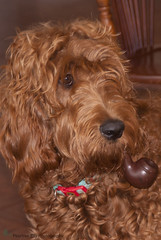 Rosie (miatasailor) Tags: red dog rosie pipe livingroom curly irishdoodle