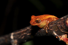 Sanborn's Treefrog (Junglenews) Tags: brazil brasil amphibians riograndedosul treefrog perereca lagoadospatos anura arambaré amphibia hylidae anfíbios anurans anuros dendropsophus