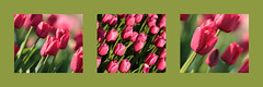 Pink Tulips in Green Triptych (groecar) Tags: collage spring triptych tulips collages tulip springtime triptychs springgreen tulipart