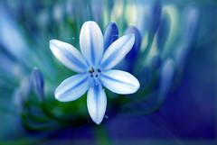 Blue ether (Pensive glance) Tags: plant flower nature fleur plante ngc npc