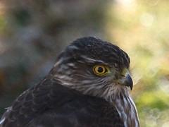 IMG_2731-1 Sharp-shinned Hawk (John Pohl2011) Tags: bird canon john hawk raptor 100400mm birdofprey pohl perching t4i 100400mmlens canont4i