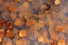 *FroZen* (grce) Tags: ice nature puddle frozen leaf foliage