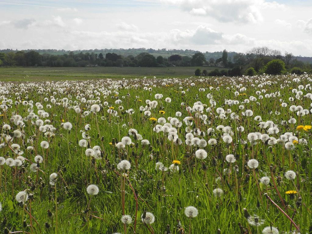 Oldwood Common  Dandelions