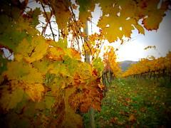 Siurana-Cornudella 23.11.2014 039 (raquelperamor) Tags: life autumn nature natura catalonia otoo catalunya tarragona priorat tardor cep autom lamanoamiga