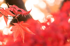 DSC_7877.jpg (d3_plus) Tags: park street autumnfoliage sky nature japan garden scenery outdoor fine sunny 日本 streetphoto yokohama 紅葉 自然 空 横浜 風景 j4 公園 三渓園 sankeien 路上 sankeiengarden ストリート 晴れ ニコン nikon1 屋外 路上写真 1nikkorvr10100mmf456 ニコン1 nikon1j4 ニコンワン