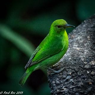 Green honeycreeper [Chlorophanes spiza] female
